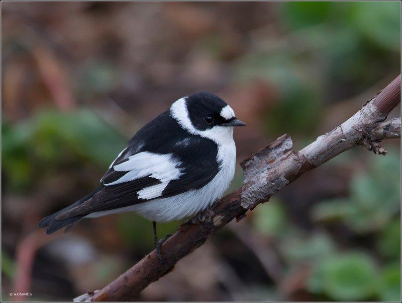 птица,мухоловка,белошейка Белошейкаphoto preview