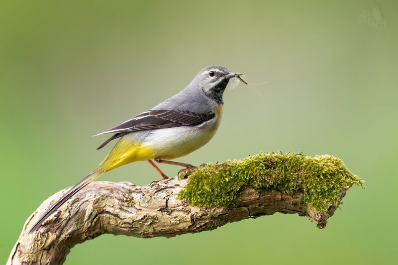 Grey wagtail with a mayflyphoto preview