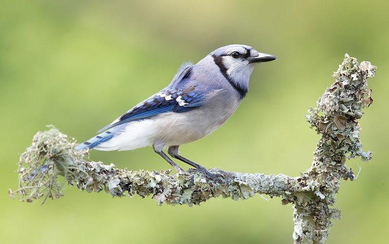 голубая сойка, blue jay, сойка, jay Голубая сойка - Blue Jayphoto preview