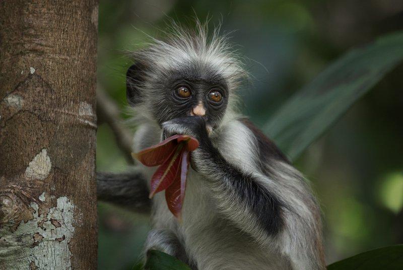 колобус , примат, занзібар ,африка ,джозани , национальный парк , занзибар , танзания, обезьяна ,zanzibar Занзибарский колобусphoto preview