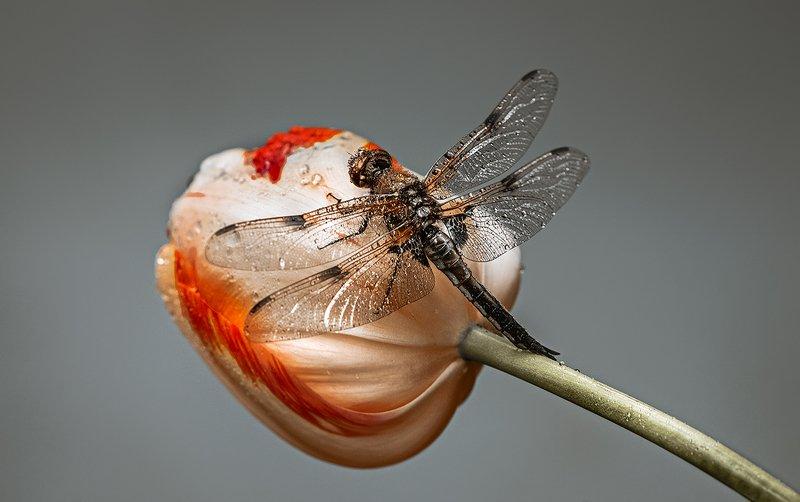 природа, макро, весна, цветы, тюльпан, насекомое, стрекоза Кругоцветное путешествиеphoto preview