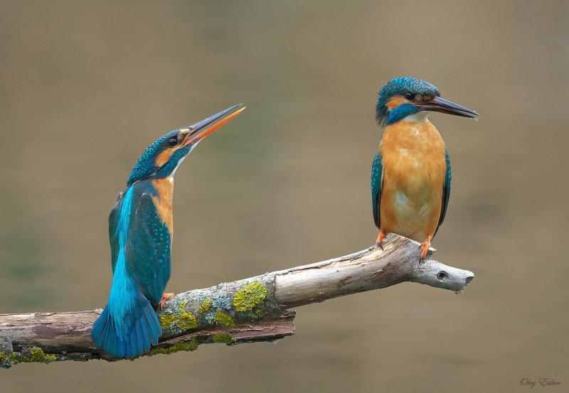 птицы, зимородок, пара Женские капризыphoto preview