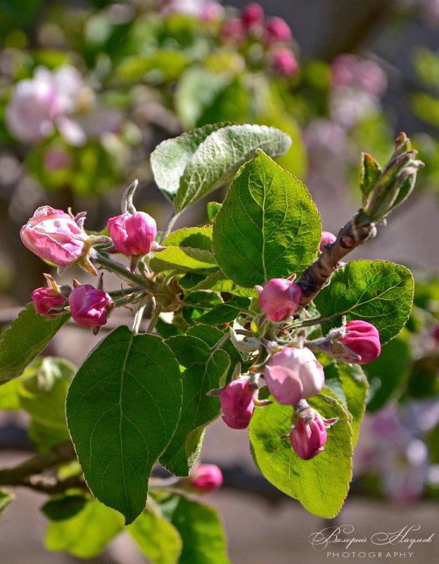 весна, цветение, яблони цвет Когда яблоня цветёт...photo preview