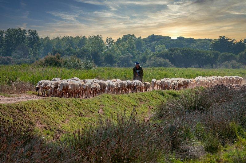 shepherd; sheep; herd; nature; animal; herdsman; france; breeding The shepherd leads the herdphoto preview