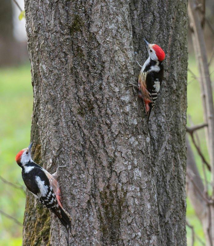 птица дятел весна природа Краснокнижникиphoto preview