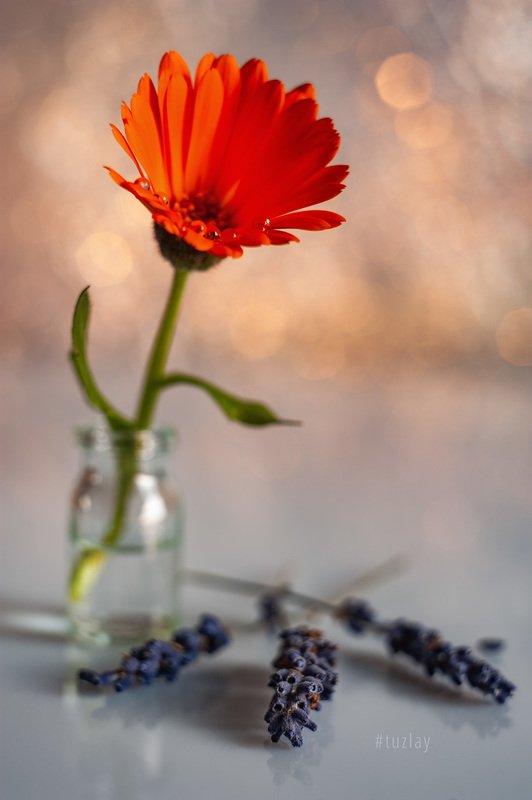 цветок календулы, календула, лаванда, гелиос, боке Оранжево-пурпурное с бокешками...photo preview