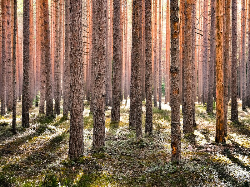весна, ленобласть, заповедник, заказник, красиво, свет, сосны, природа Сосновый бор.photo preview