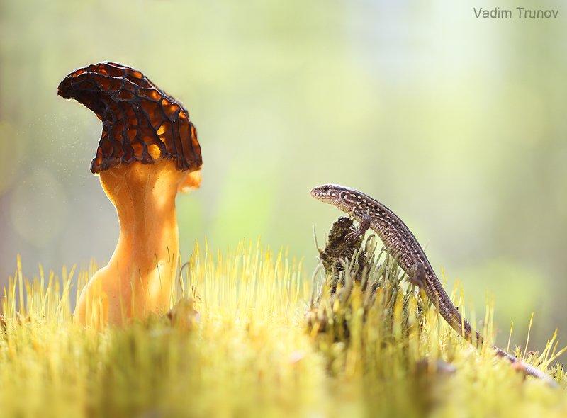 гриб, сморчок, ящерица, макро Встреча с Волшебникомphoto preview