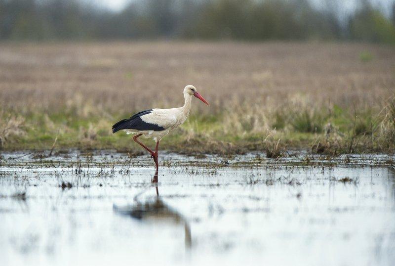 Оставаться грациозным даже на болоте...photo preview