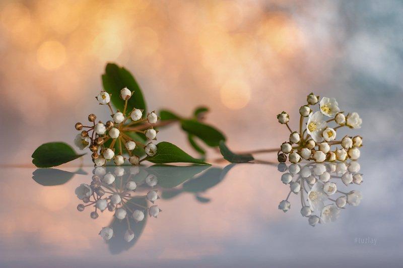 спирея, невеста, листки спиреи, цветок спиреи, лепестки спиреи, бутоны спиреи, гелиос 44 \