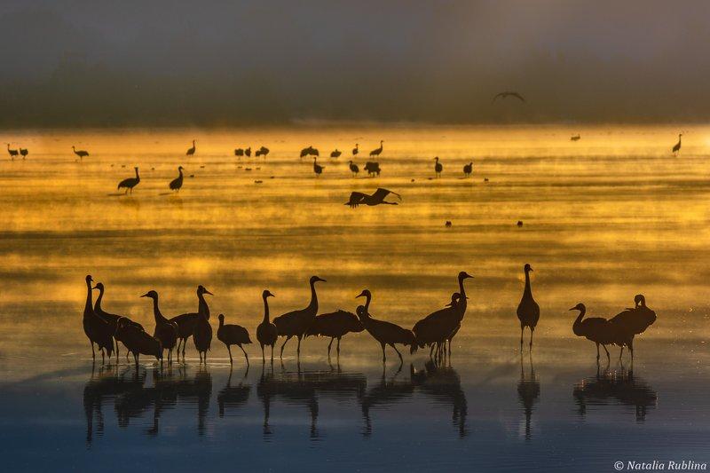 утро,рассвет,туман,природа,птицы,журавли,силуэты,отражения,золото,настроение,озеро,животные Журавушки в золотом тумане...photo preview