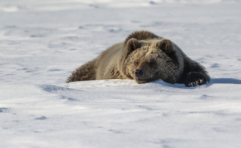 чукотка весна медведь бурый спячка проснулся После долгого сна....photo preview