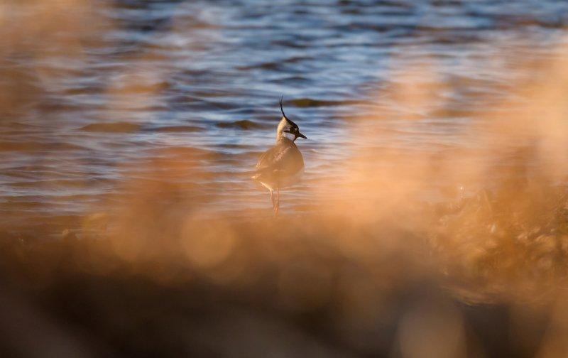 чибис, птица с хохолком, пигалица, вечер, закат, Москва река, птица у воды,Vanellus vanellus, Одинцовский район Вечер пигалицыphoto preview