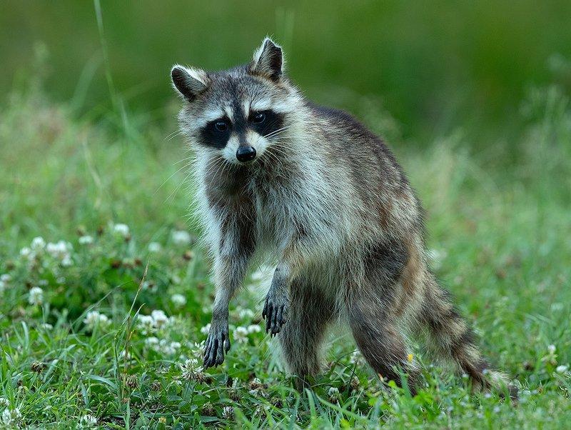 енот обыкновенный, енот-полоскун, raccoon, енот Raccoon. Енот-полоскун -Вечерняя гостья.photo preview