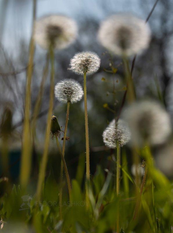 ставропольский край, ставрополье, природа, флора, одуванчик, одуванчики, пушистый, серебро, контур, трава, весна, Пушистое сереброphoto preview