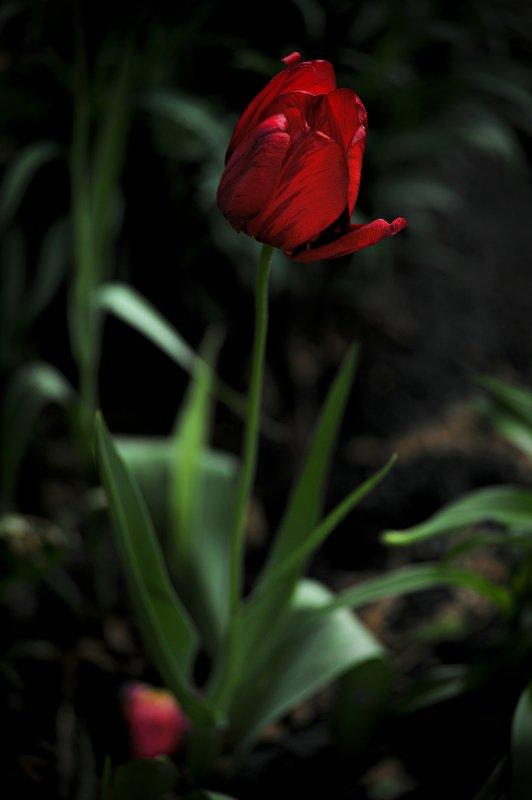 tulip \