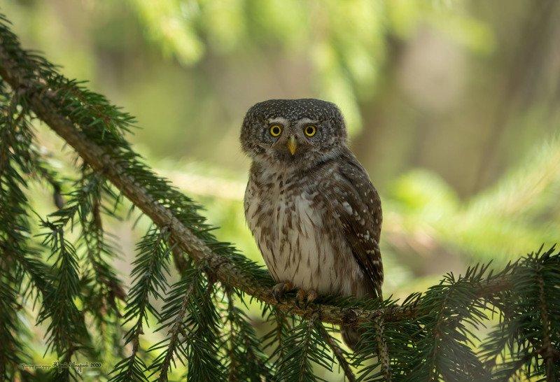 сыч-воробей, eurasian pygmy-owl, сова, птица, ель, Свежо в тени жаркого дняphoto preview
