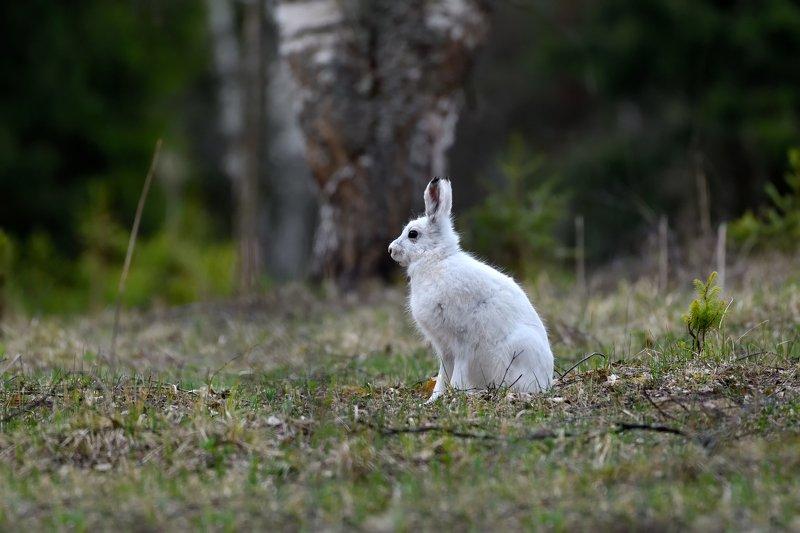 лес,весна,заяц,беляк на весенней полянеphoto preview