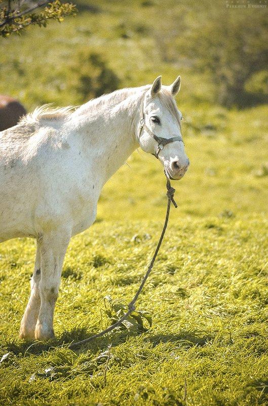 белая лошадь, лошадь, кобыла, конь, белый конь Про белую лошадьphoto preview