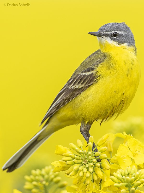 Жёлтая трясогузкаphoto preview
