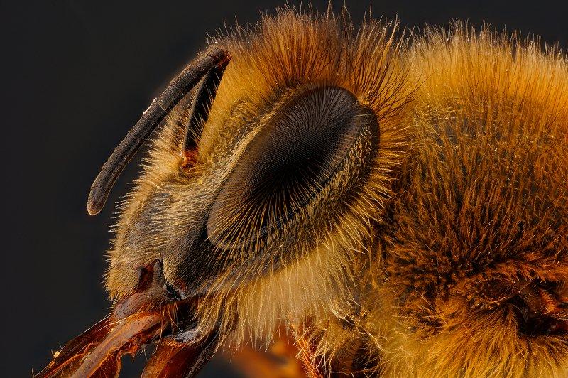 макро глаз пчела Глаз пчелы.photo preview