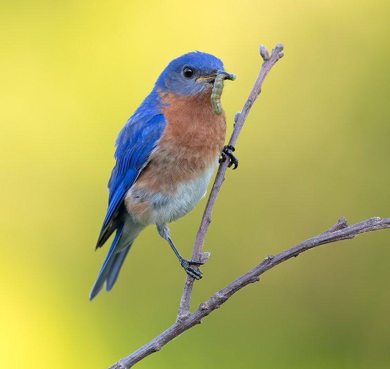 восточная сиалия, eastern bluebird,bluebird Eastern Bluebird male - Восточная сиалия самецphoto preview