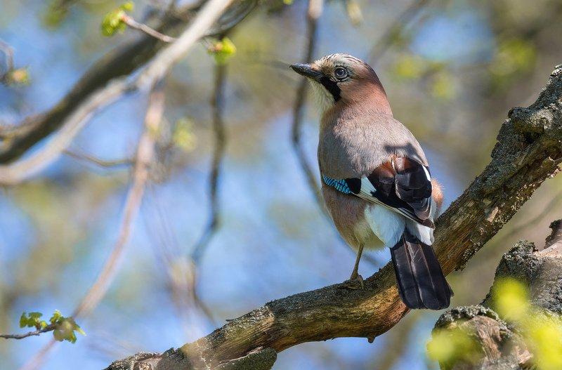 птица сойка Наряднаяphoto preview