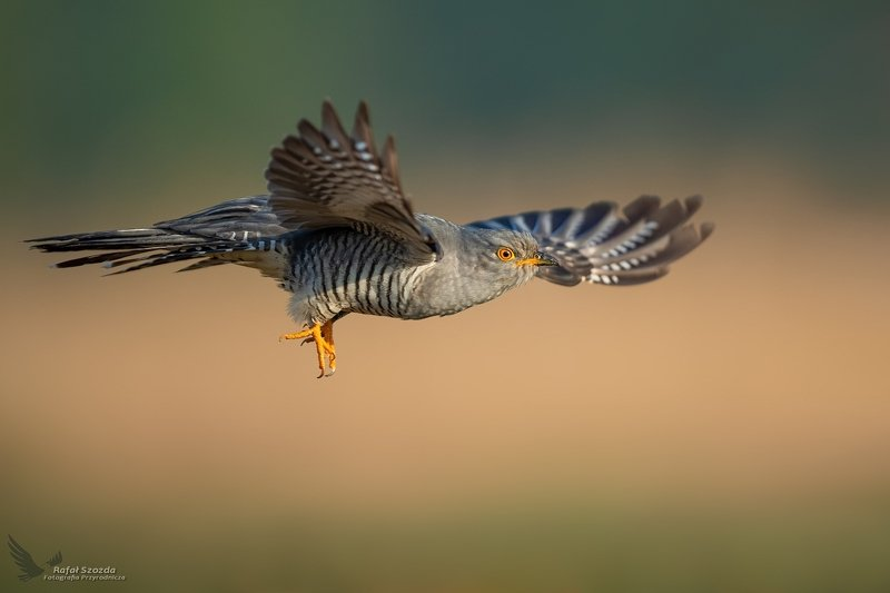 birds, nature, animals, wildlife, colors, sunligt, flight, springs, meadow, nikon, nikkor, wings, lubuskie, poland Kukułka, Common Cuckoo (Cuculus canorus) ... 2020rphoto preview