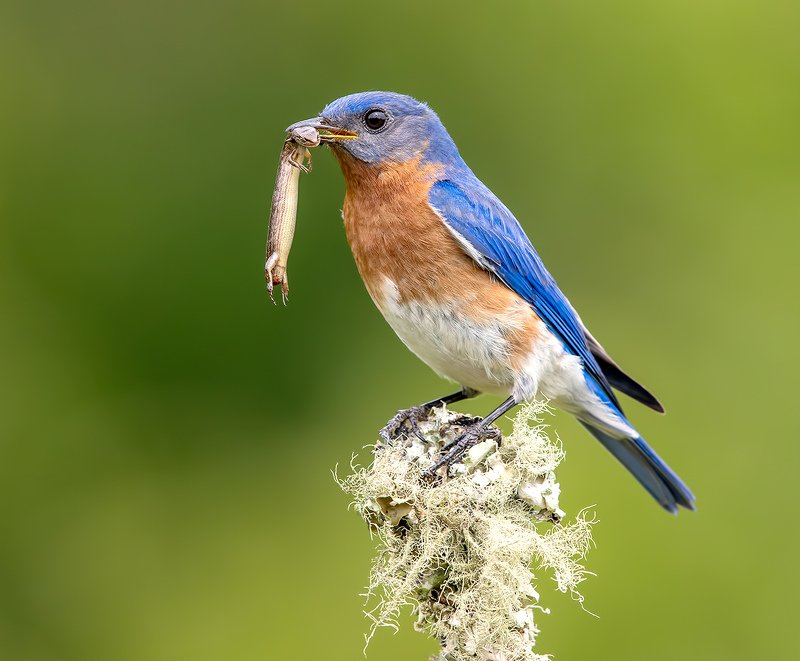 восточная сиалия, eastern bluebird,bluebird Восточная сиалия поймал ящерицу - Eastern Bluebird catches lizard.photo preview