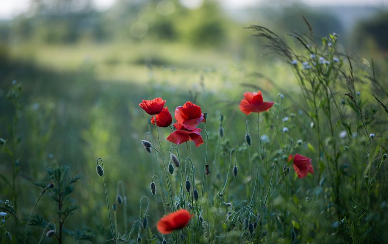 Red poppy...photo preview