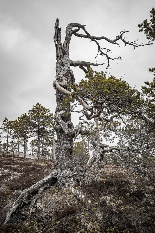 tree,trees,nature,norway,norwegian,boreal, Twisted, partly dead, bent and straightphoto preview