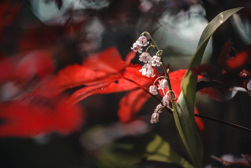 природа, макро, весна, цветы, ландыш, клен японский В темно-синем лесуphoto preview
