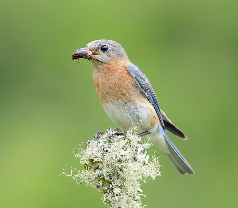 восточная сиалия, eastern bluebird, bluebird Feeding Time! Пара Восточная сиалия -   Eastern Bluebirdphoto preview