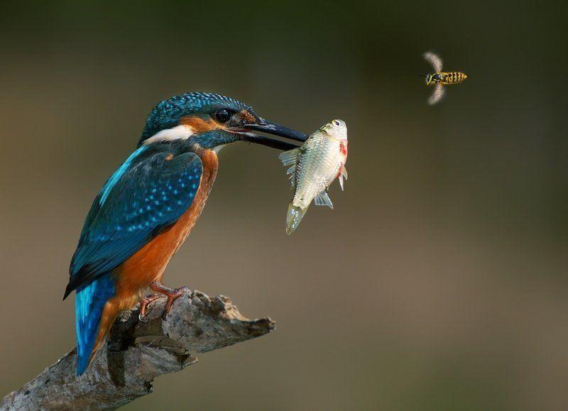 birds, wildlife, фотоохота, птицы, крым, сергей шкарупо Зимородок и осаphoto preview