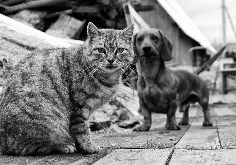 кот, такса, собака, охота cat & dogphoto preview