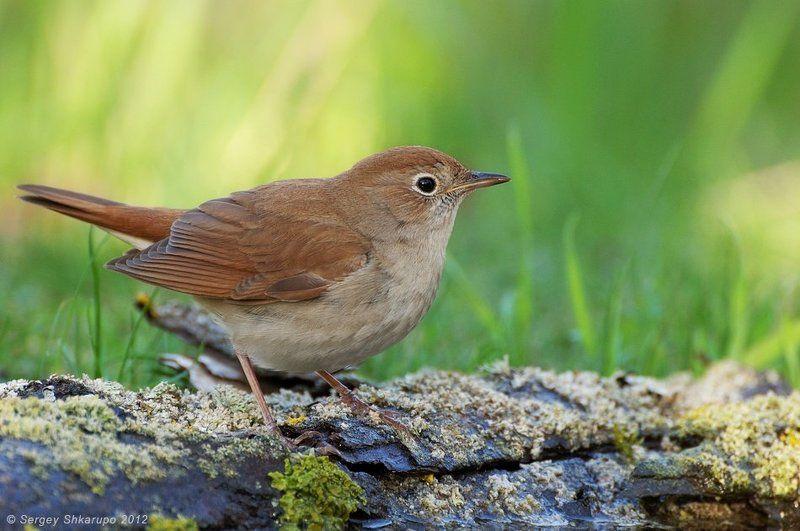 birds, wildlife, фотоохота, птицы, крым, сергей шкарупо Южный соловей на водопоеphoto preview