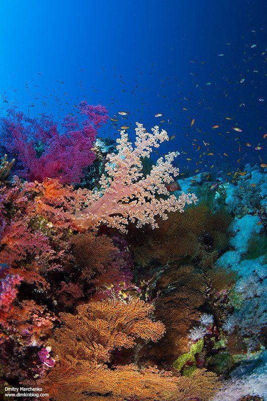 soft corals,мягкие кораллы,кораллы,underwater ***photo preview