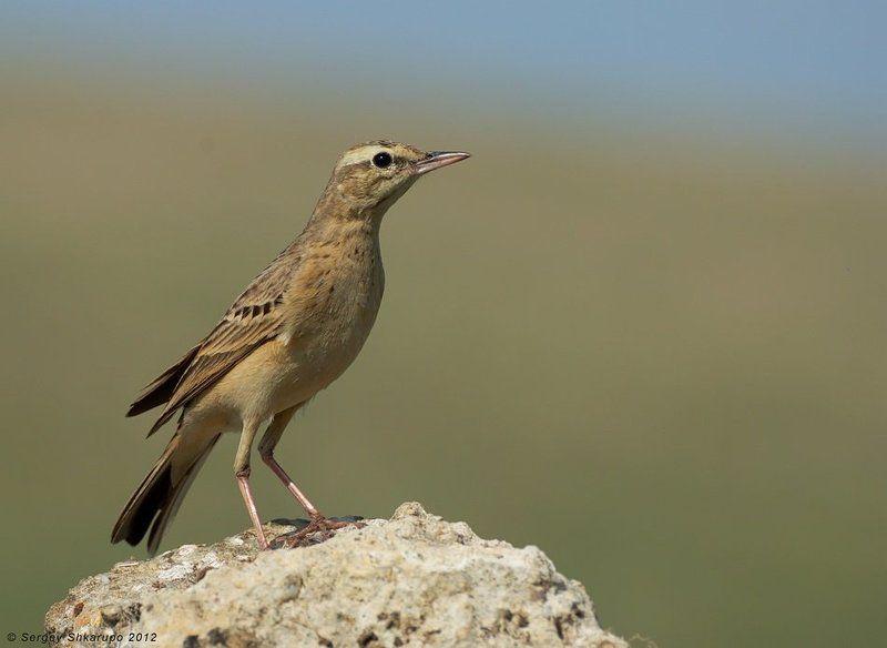 полевой конек, птицы, крым, birds, wildlife, фотоохота Полевой часовойphoto preview