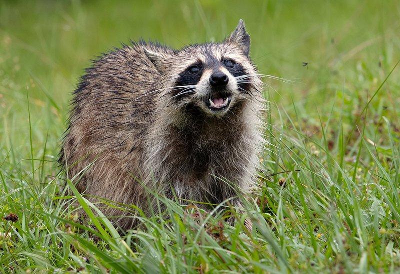 енот обыкновенный, енот-полоскун, raccoon, енот Енот-полоскун после дождя - Wet Raccoonphoto preview