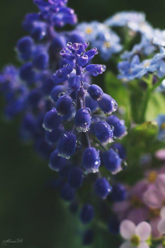мускари, синий, весна, капли Мускари. Мышиный гиацинтphoto preview