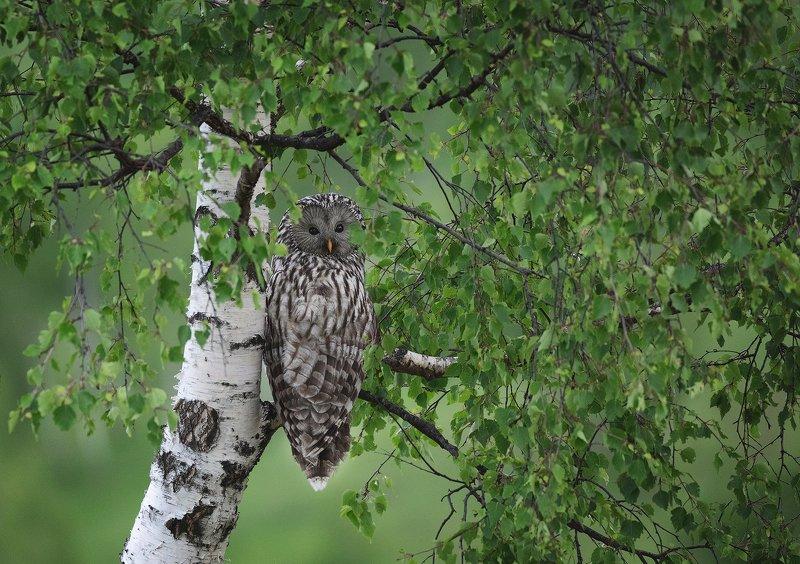 spring, trees, owl, bird, travel, nature, mountain, romania, wild, wildlife, green Camouflagephoto preview