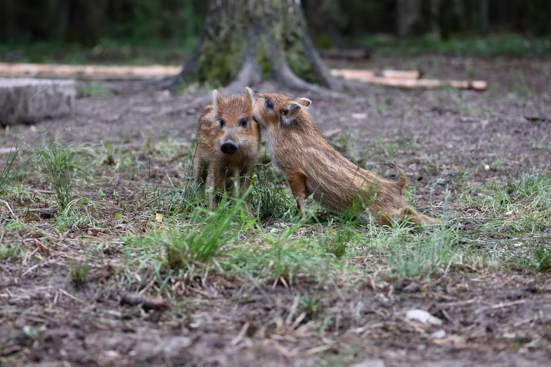 лес,животные нежные чувстваphoto preview