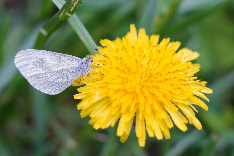 макро, бабочка, одуванчик, цветок, цветы, фотография, весна, природа, macro, butterfly, dandelion, flower, flowers, photography, spring, nature, Бабочка на одуванчикеphoto preview
