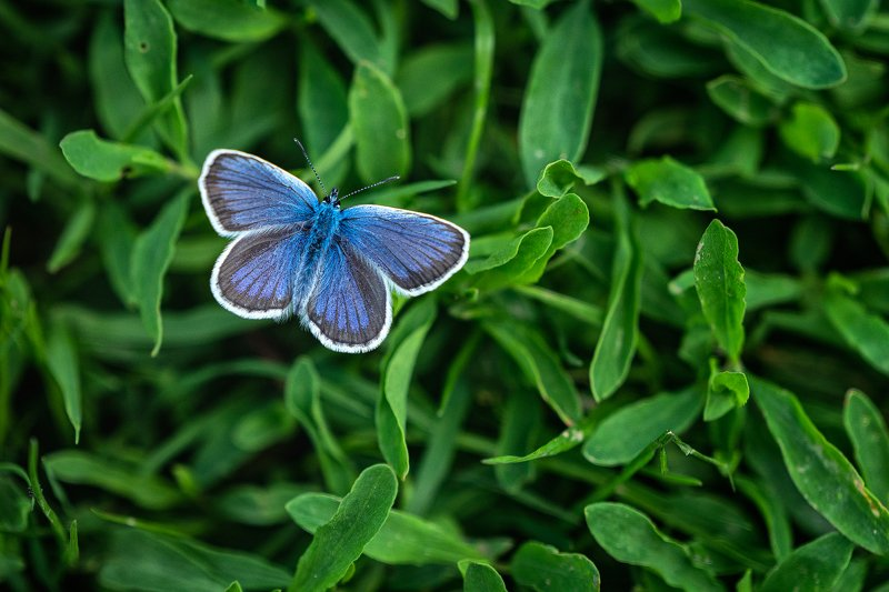 #blue #macro #buterfly #nature #green #grass #sony100400  The blue spotphoto preview