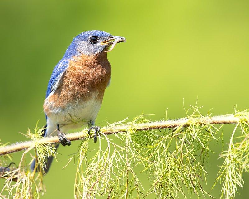 восточная сиалия, eastern bluebird,bluebird Восточная сиалия  - Eastern Bluebird malephoto preview