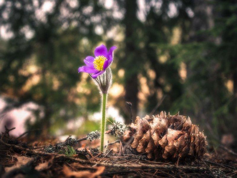 цветок, сон-трава, прострел, весенний цветок photo preview