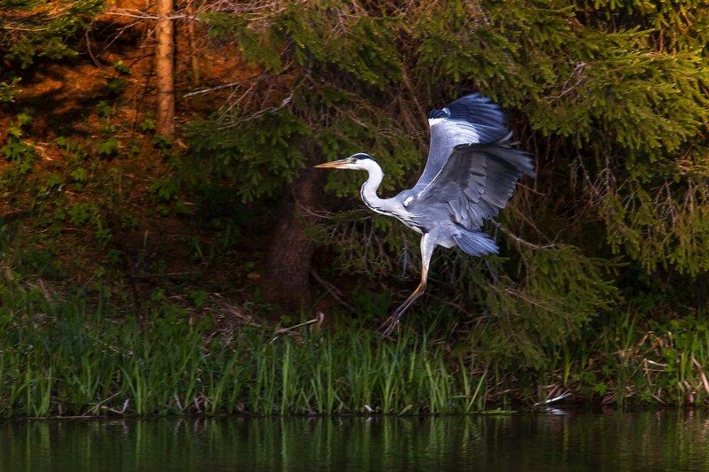 серая цапля, цапля, птица, bird, wild Серая Цапляphoto preview