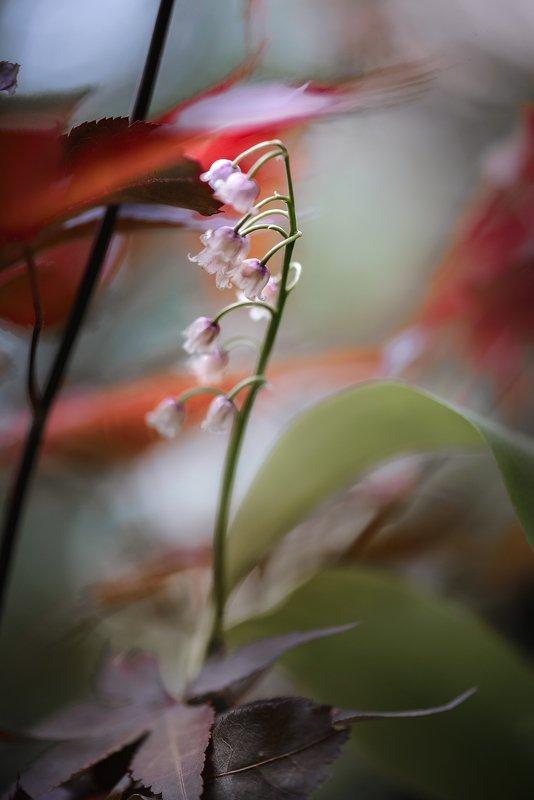 природа, макро, весна, цветы, розовый ландыш, клен японский Весенний бризphoto preview