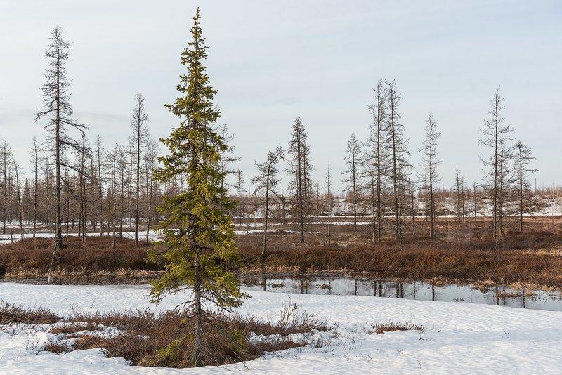 весна, снег, пробуждение, природа, ямал, янао, сибирь Веснаphoto preview