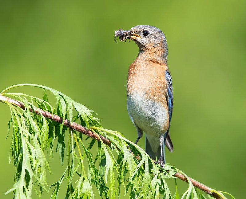 восточная сиалия, eastern bluebird,bluebird Cамка. Восточная сиалия - Eastern Bluebird femalephoto preview
